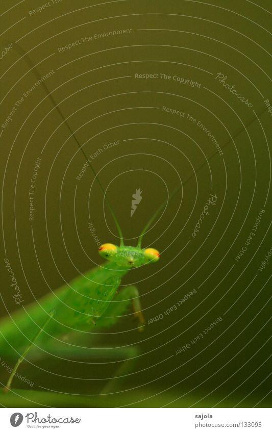 glubschaugen grün rot Auge Tier gelb Farbe Beine Asien Insekt Fühler Singapore frontal Dreieck Heuschrecke Tarnung Anpassung