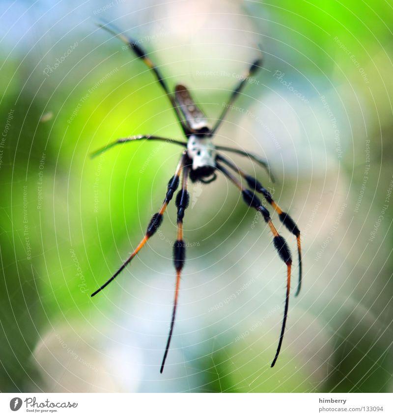 webmaster 2008 grün Tier Beine Angst warten gefährlich bedrohlich beobachten Netz Lebewesen Spinne Panik Gift Spinnennetz Waldlichtung Hinterhalt