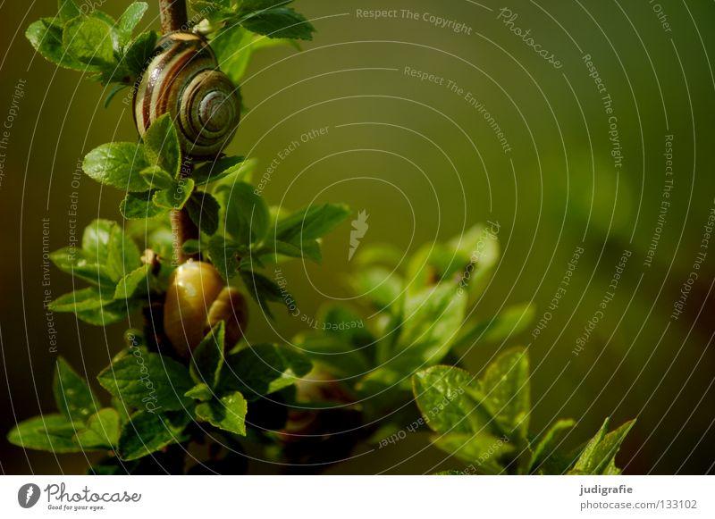 Wohnen im Grünen Schneckenhaus Landlungenschnecke grün Sträucher Ernährung Pflanze Tier Haus Wohngemeinschaft Farbe bänderschnecke schnirkelschnecke Zweig