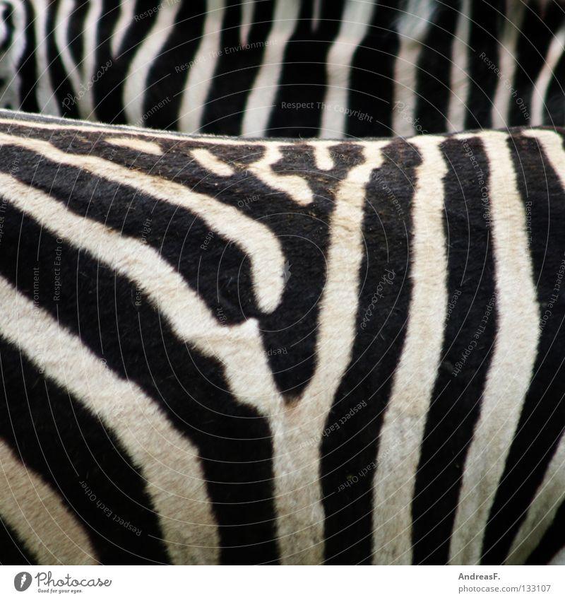 Zebrastreifen gestreift Streifen Zoo Tier schwarz weiß Muster Fell Afrika Schwarzweißfoto Säugetier schön monchrom Strukturen & Formen tiermuster zebramuster