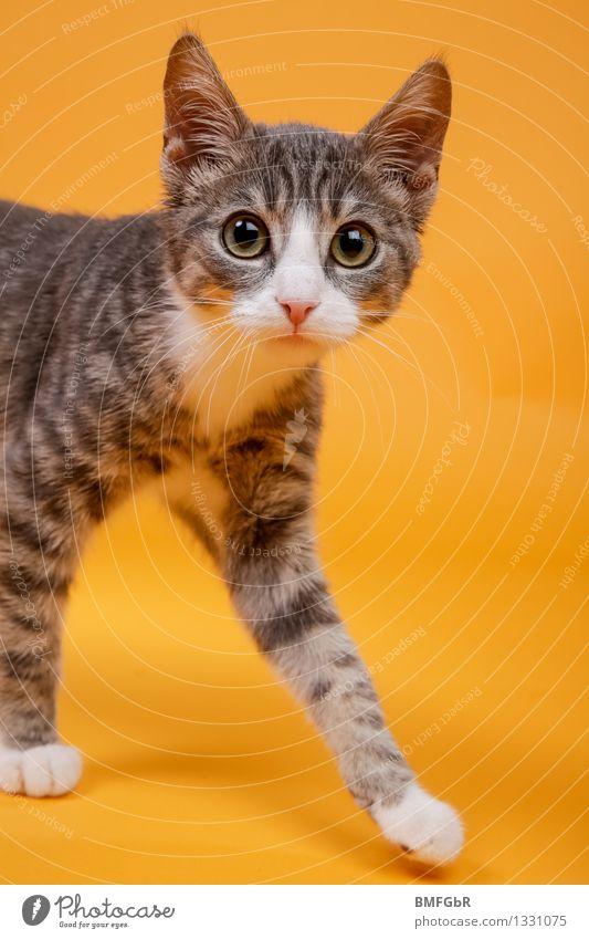 Mit großen Augen Katze schön Tier Tierjunges Gefühle lustig Glück grau orange niedlich retro Neugier Überraschung Haustier Hauskatze Pfote