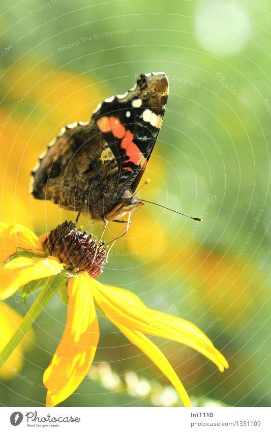 Admiral Pflanze Tier Sonnenlicht Sommer Herbst Blume Blüte Garten Wildtier Schmetterling 1 Fressen außergewöhnlich fantastisch schön braun mehrfarbig gelb grau