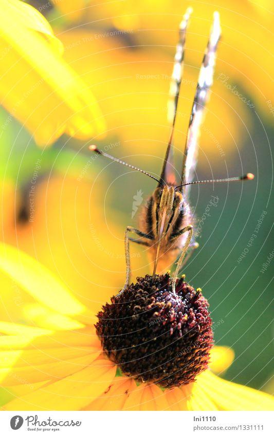 Admiral Natur Pflanze Tier Sonnenlicht Sommer Herbst Schönes Wetter Blume Blüte Garten Wildtier Schmetterling Vanessa atalanta 1 Fressen braun mehrfarbig gelb