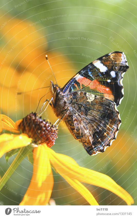 Admiral Natur blau grün schön Sommer weiß Blume rot Freude Tier schwarz gelb Leben Blüte Herbst grau