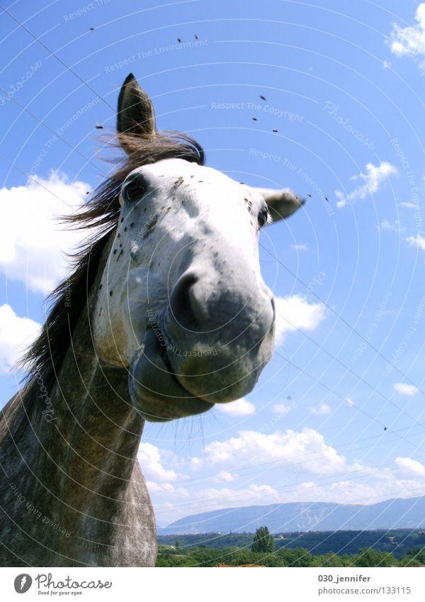 Fliegen : Pferd Natur Himmel blau Sommer Wolken Wind fliegen Kommunizieren Schweiz Vertrauen Tier