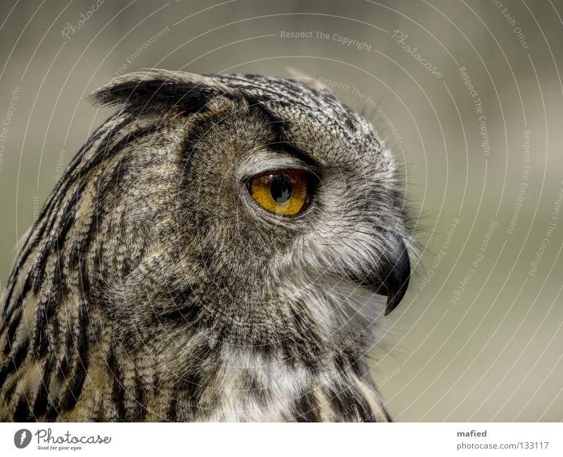 Uhu II ruhig schwarz gelb grau Eulenvögel braun orange Vogel weich Frieden Feder Wildtier Jagd sanft Glätte