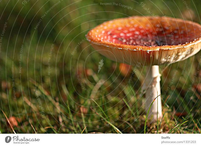 Nicht für die Pilzsuppe! Natur Herbst Gras Fliegenpilz Pilzhut Wiese natürlich schön grün rot Stimmung Herbstgefühle Lichtstimmung Gift Herbstwetter herbstlich