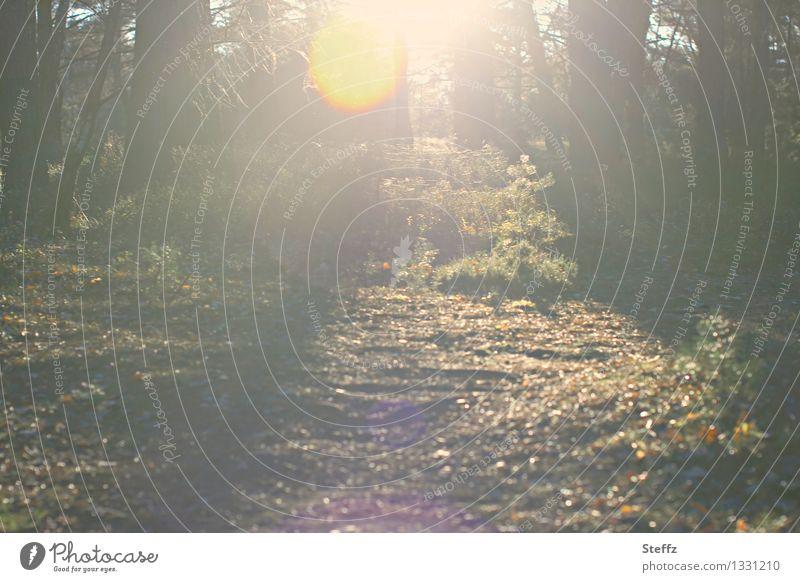 Die zweite Sonne Umwelt Natur Landschaft Sonnenlicht Herbst Klimawandel Baum Blatt Herbstlaub Wald Herbstwald Herbstlandschaft leuchten fantastisch schön gelb
