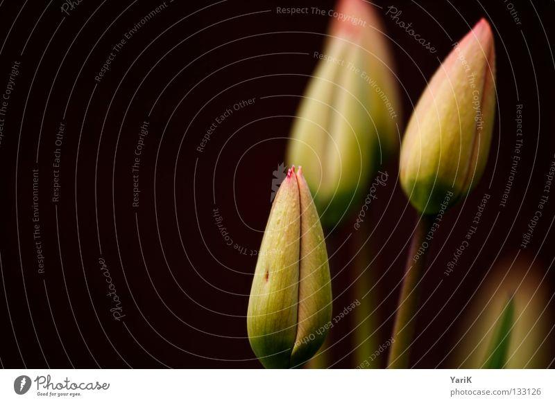 tulpig Natur Pflanze grün Farbe Sommer weiß Blume rot Freude dunkel gelb Wärme Leben Blüte Frühling Beleuchtung