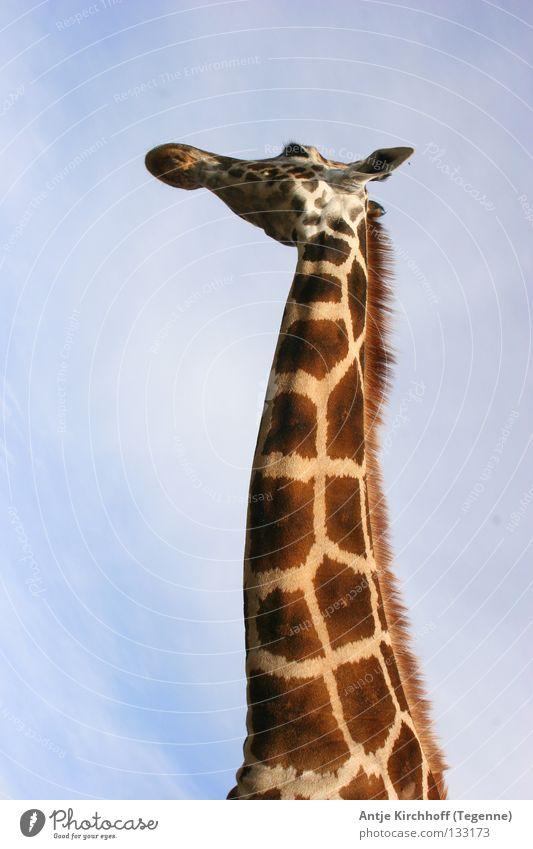 HALLOOOOOO ..... Wer da????? Zoo Dortmund Tier lang groß braun schön süß Freizeit & Hobby Afrika scheckig beige Außenaufnahme Säugetier Giraffe wild life Himmel