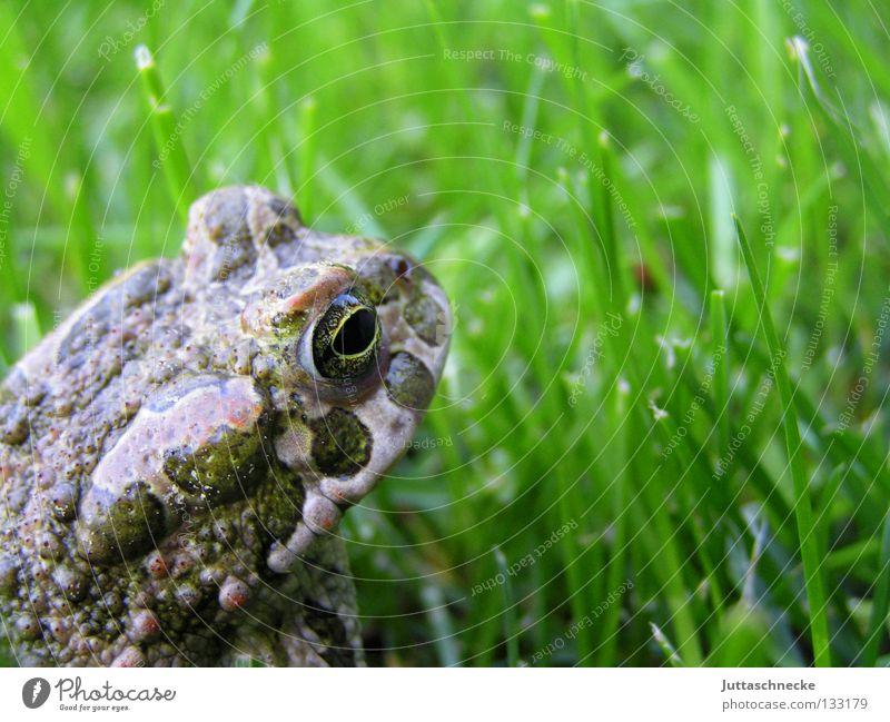 Froschkönig Gras Kaulquappe grün Quaken Umweltschutz unerschütterlich schmollen Teich See Europa Gewässer Gartenteich Biotop Unke flüchten laufen hüpfen