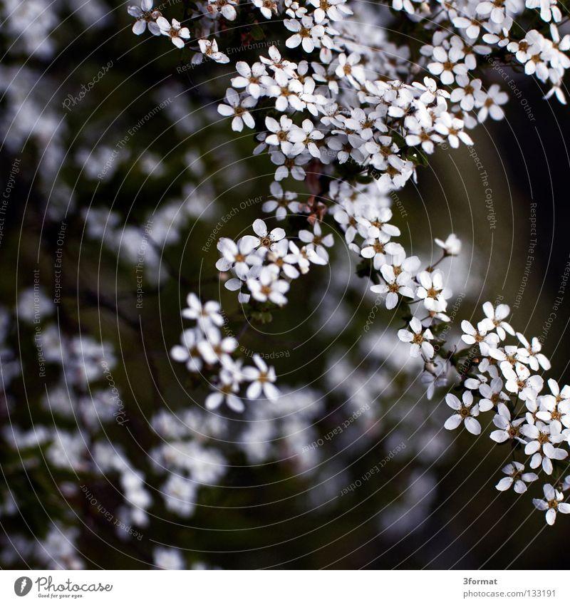 strauch Sträucher Baum Geäst Blüte Nieselregen feucht Trauer Märchen fantastisch träumen Verhext Einsamkeit Frühling Physik Tau Morgen Nebel Unschärfe Blühend