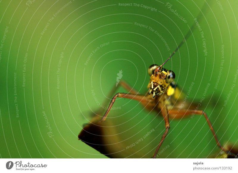 cricket Natur grün Tier gelb Auge Kopf Beine braun authentisch rein Tiergesicht lang Asien Insekt Urwald Fühler