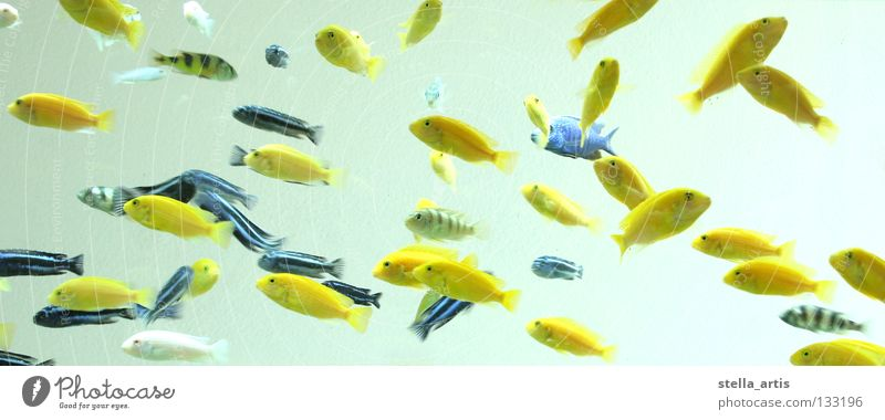 schwebende fische blau Wasser Farbe Erholung schwarz gelb Streifen Fisch Schweben durchsichtig gestreift Schwarm Aquarium Schwerelosigkeit Barsch