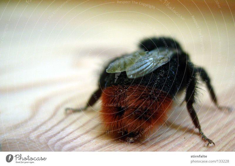 Verlaufen Hummel Biene Honigbiene Insekt fliegen nützlich bestäuben Flügel Holz nah Bodenbelag krabbeln stechen Monster Nahaufnahme rückwärts Hinterteil Beine