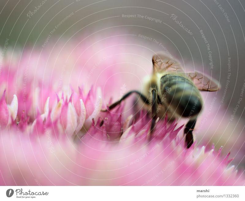 fleißiges Bienchen Natur Pflanze Blume Landschaft Tier Umwelt Garten Stimmung Wildtier Sträucher Flügel Biene Honig emsig Honigbiene