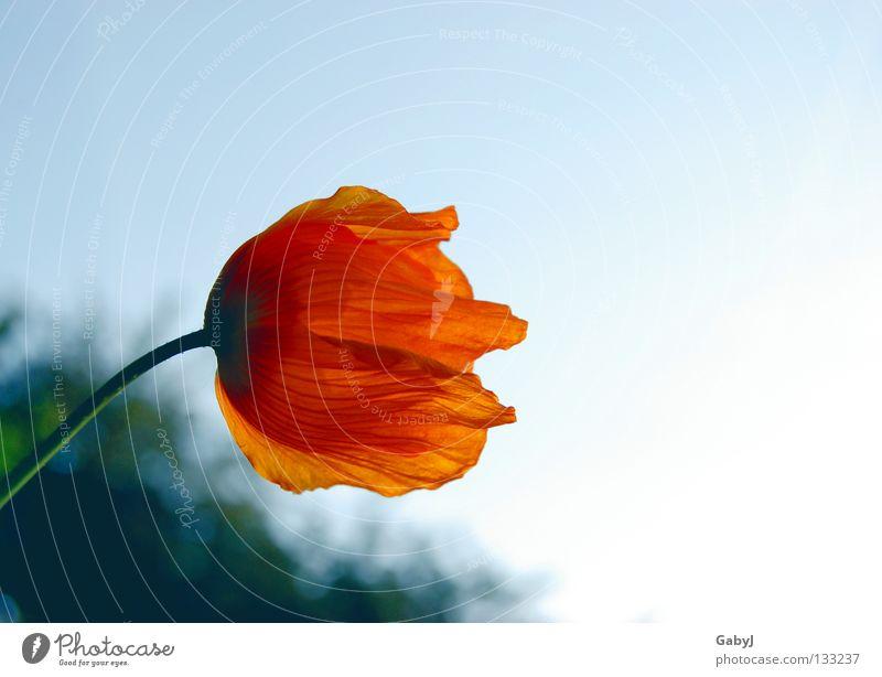 Sehnsucht Islandmohn Licht Standort träumen streben Einsamkeit Vergangenheit Trauer Hoffnung Blütenblatt Wegsehen zerbrechlich zart erleuchten Abschied Himmel