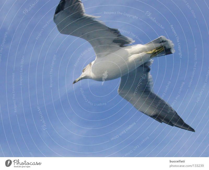 sora Himmel Japan Vogel Lachmöwe sky Bird Blue freedom Sea Wing