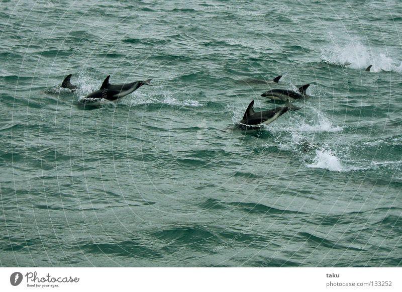 JUMP OF THE DOLPHINS Neuseeland Südinsel Delphine Säugetier Meer grün weiß Wellen springen Spielen Artist akrobatisch Wasserfahrzeug Naturphänomene aufregend