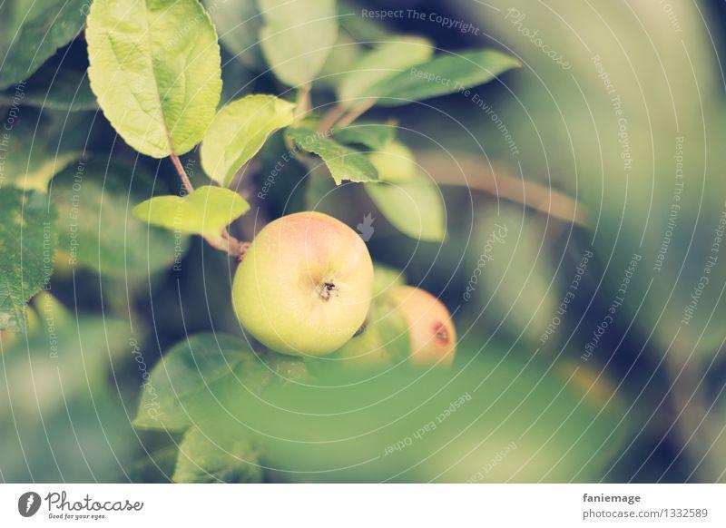 Apfelzeit Natur Sommer Herbst Schönes Wetter Baum Blatt Garten Wiese Feld natürlich rund saftig gelb grün Apfelbaum lecker Bioprodukte Gesundheit Naturprodukt