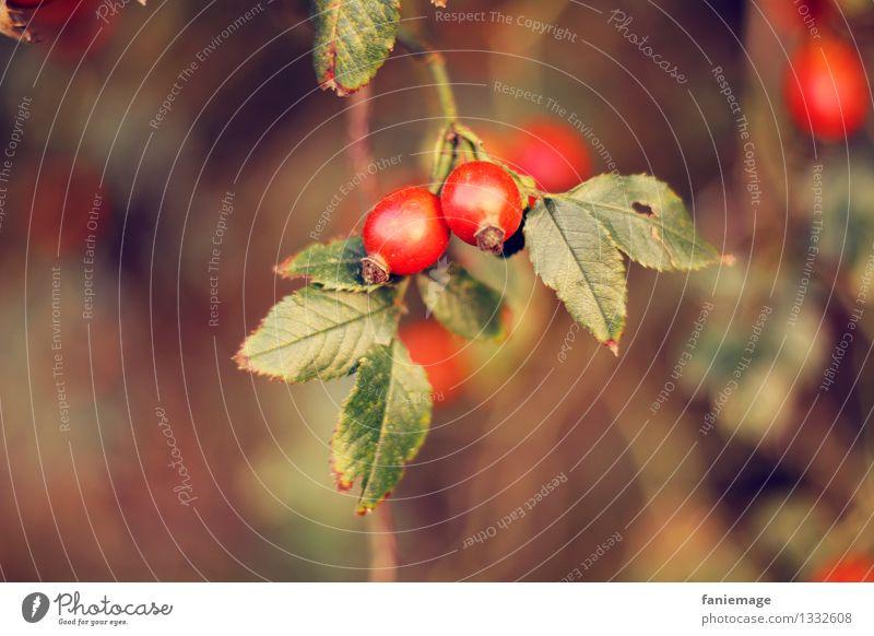 Hagebutte Natur Herbst Schönes Wetter Sträucher Blatt Garten Park Feld braun gold grün rot herbstlich Warme Farbe Hagebutten Zweige u. Äste Unschärfe Frucht