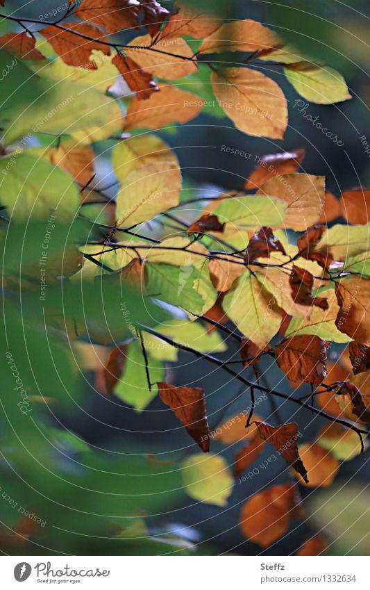 Jahreszeitenwechsel Zwischenzeit Buchenblätter Buchenzweig vergänglich Umwandlung Kreislauf der Natur Wandel Waldbaden Herbstlaub Herbstwald Herbstgefühle