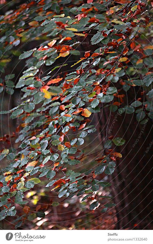 Herbstbeginn Buchenblätter Buchenzweig Übergang verwandeln Saisonende Waldbaden transformieren verändern im Wandel der Zeit umwandeln vergänglich Metamorphose