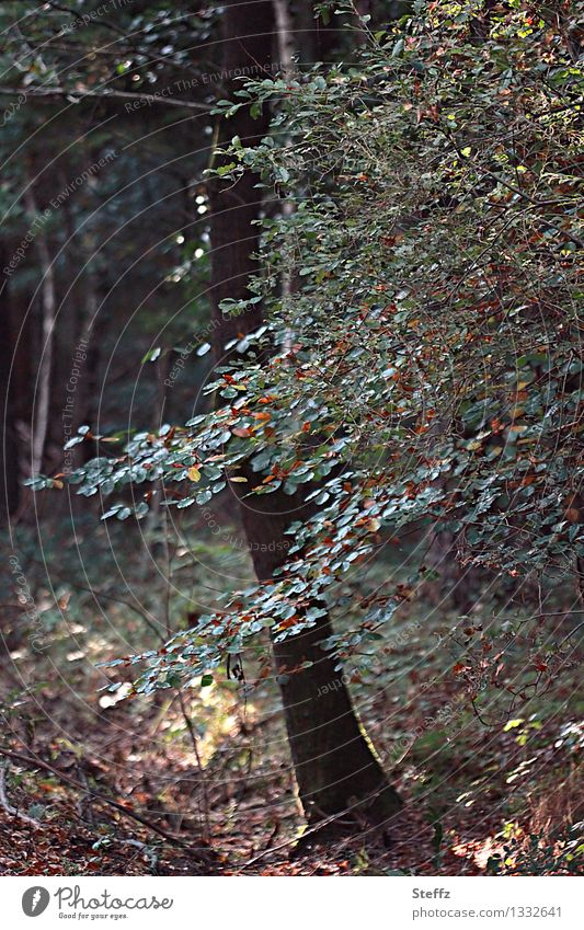 Herbstanfang Natur Pflanze Baum Blatt Herbstlaub Buche Buchenblatt Wald Lichtstimmung Waldstimmung Herbstgefühle Vergänglichkeit Wandel & Veränderung