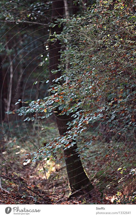 Waldbaden im September Buche Buchenblätter Saisonende Jahreszeitenwechsel Buchenzweig Vergänglichkeit Waldluft Laubwald Sommerende Herbstanfang vergänglich