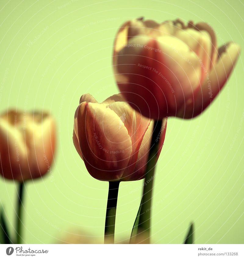 Tulpen Blume Liliengewächse Amsterdam Niederlande Stengel Blüte Frühling Januar Februar März Zwiebel frühlingsbote
