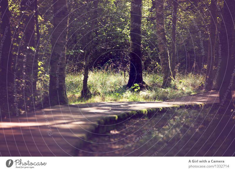 Lichtblicke auf dem Holzweg des Lebens Umwelt Natur Landschaft Sonne Sonnenlicht Herbst Wetter Schönes Wetter Baum Wald Moor Sumpf leuchten natürlich