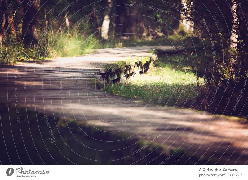 Auf dem Holzweg des Lebens Umwelt Natur Landschaft Pflanze Sommer Herbst Schönes Wetter Gras Wald Moor Sumpf nachhaltig natürlich gekrümmt Naturschutzgebiet