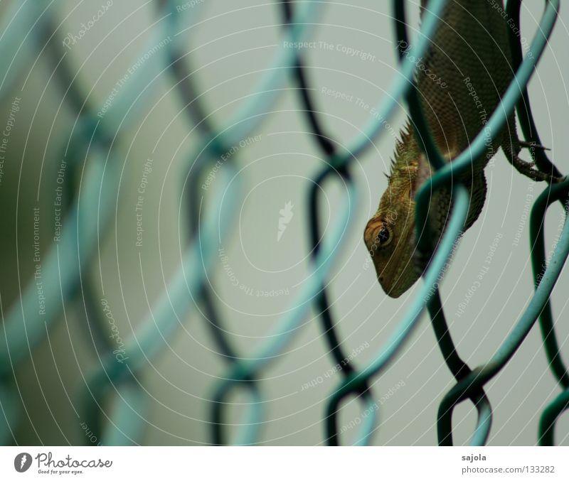 durchblick grün Tier Auge Garten Perspektive beobachten festhalten Klettern lang Asien Zaun Urwald Wachsamkeit Sonnenbad Durchblick Reptil