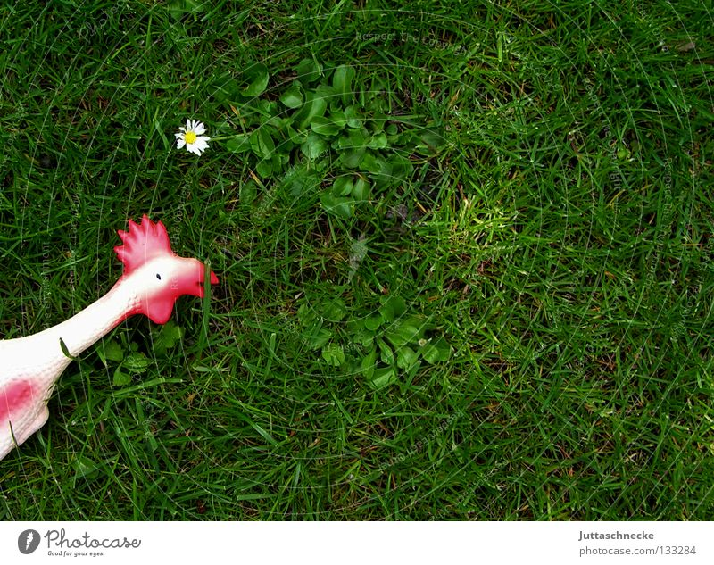 Erster Streich Haushuhn Hahn Wiese Gras Blume Gänseblümchen Spielzeug Hundespielzeug Quietschen Gummihuhn grün rot weiß Unsinn Federvieh Krähe Vergänglichkeit