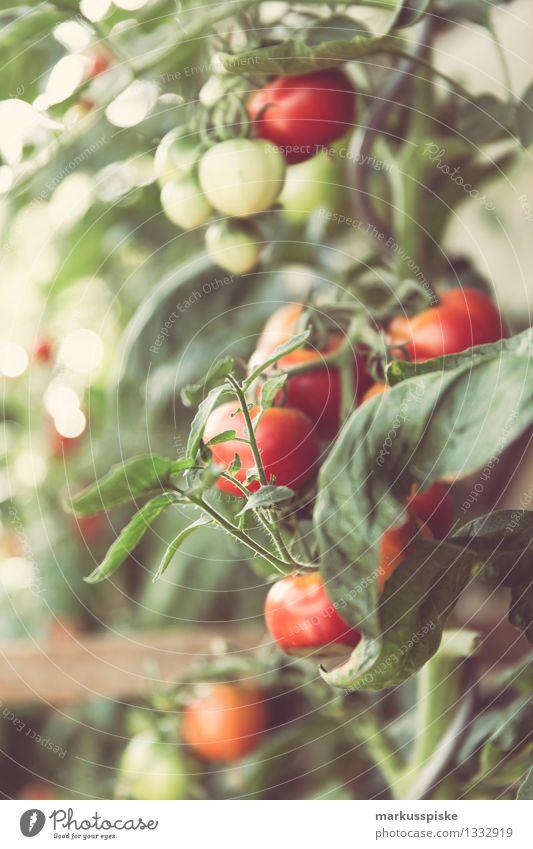 urban gardening tomaten ernte Lebensmittel Gemüse Tomate Tomatenplantage Sträucher Ernte rot selbstversorger Selbstständigkeit Ernährung Essen Picknick
