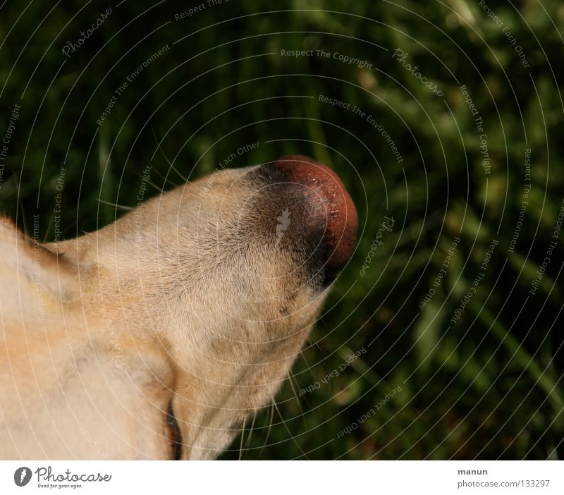 Ein Stück Hund II grün ruhig Tier dunkel Gras hell blond Nase Gelassenheit feucht Säugetier Labrador Hundekopf Nasenspitze