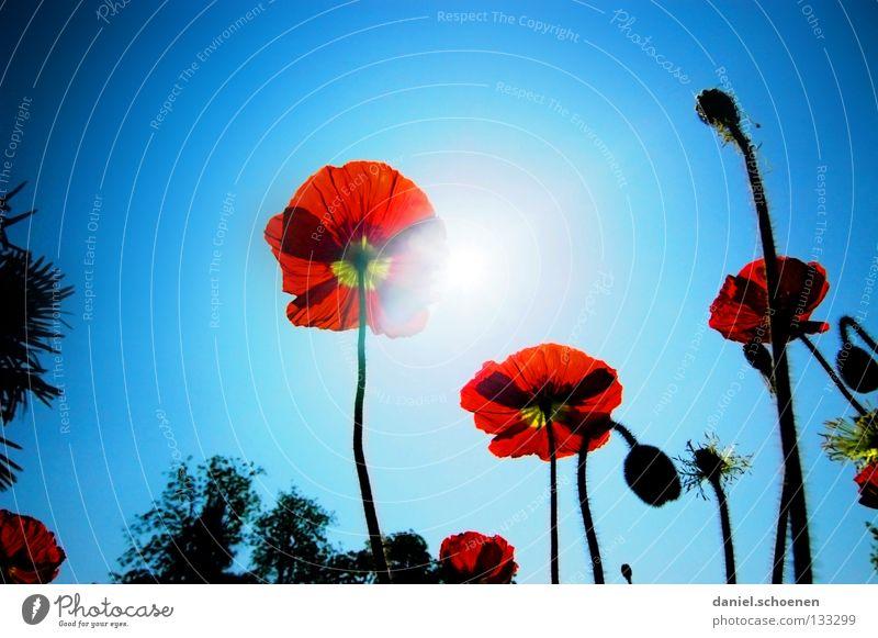 der Sommer kommt !! Mohn Klatschmohn rot Licht Sonnenstrahlen Frühling Blume Blüte hell-blau zyan Silhouette Gegenlicht Himmelskörper & Weltall Perspektive