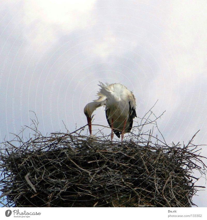 fürsorgliche Eltern Wolken Vogel Wohnung Geburtstag Sträucher Ast Zweig füttern Nest Storch Federvieh Horst Hebamme Brutpflege Gelege