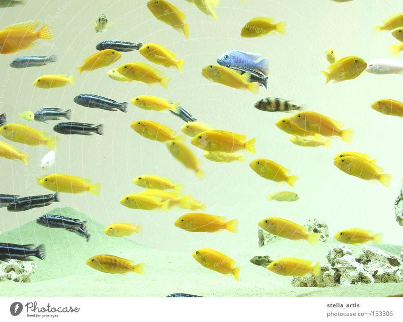 schwebende fische teil 2 Wasser blau ruhig gelb Farbe Erholung Fisch Richtung Aquarium Schweben gestreift Schwarm maritim Schwerelosigkeit Tier