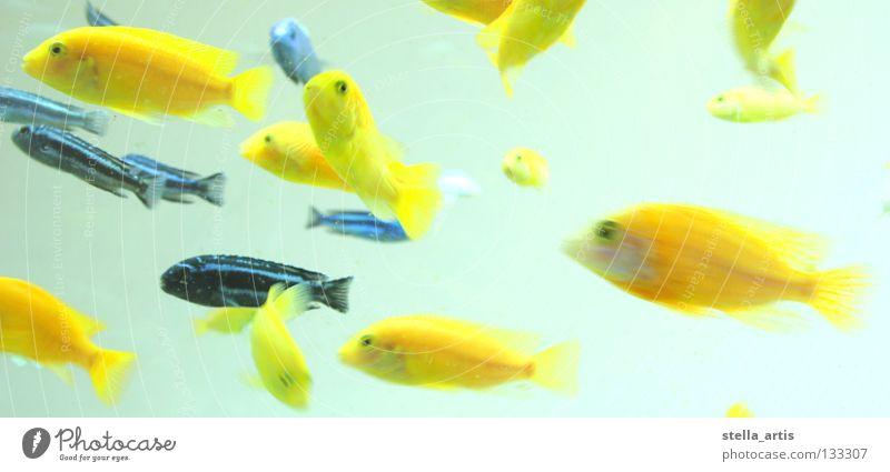 schwebende Fische Detail Wasser blau ruhig gelb Farbe Erholung Bewegung Fisch Richtung Aquarium Schweben gestreift Schwarm maritim Schwerelosigkeit