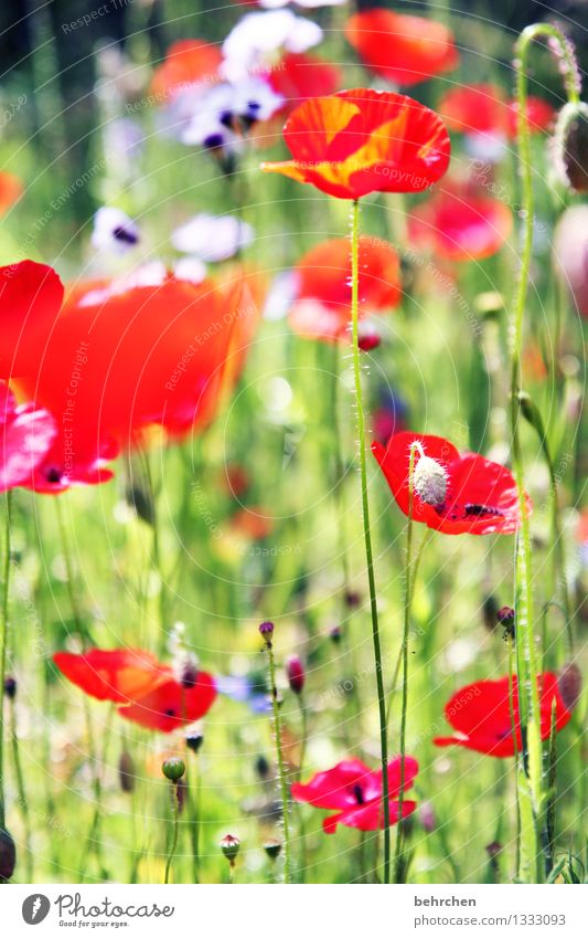 mo(h)ntag, mal wieder... Natur Pflanze Frühling Sommer Schönes Wetter Blume Gras Blatt Blüte Mohn Garten Park Wiese Blühend Duft leuchten Wachstum schön grün
