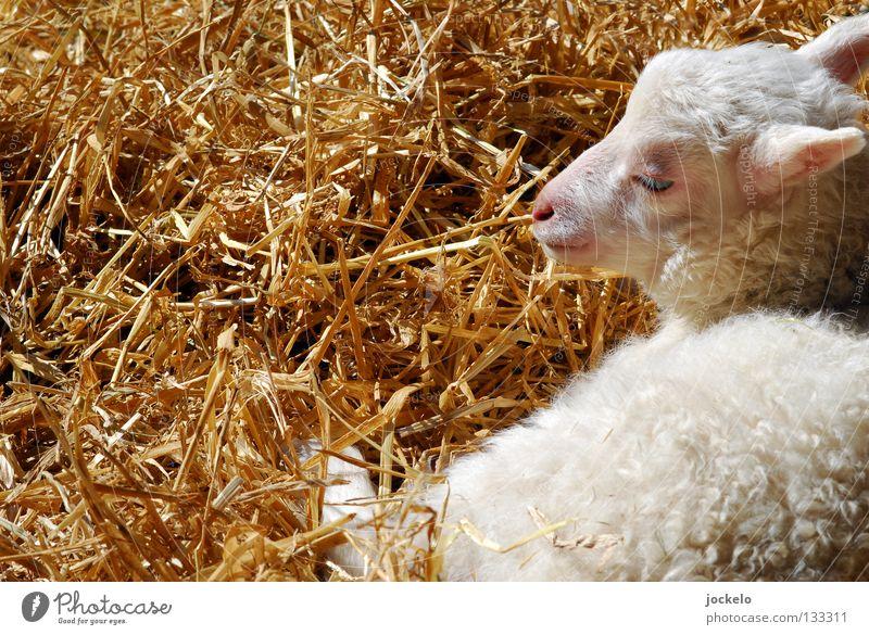 Easy weiß Tier gelb Tierjunges Gras klein Lebensmittel liegen träumen Ernährung weich Pause Rasen Landwirtschaft Weide Fell