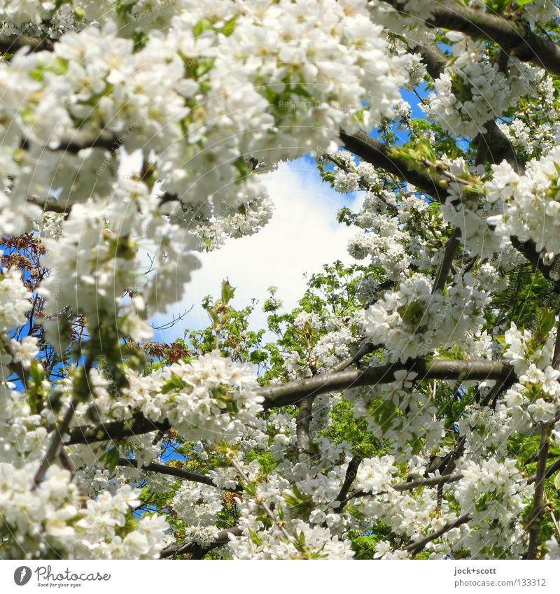Wenn die Sonne lacht Himmel Natur schön Baum Blüte Frühling Zeit Horizont Wachstum Kraft groß hoch Ausflug Beginn Ast Blühend