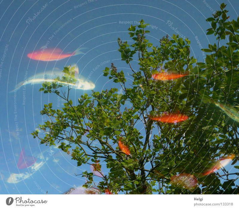 Fische in einem Gartenteich mit Spiegelung von Bäumen und Himmel Koi Goldfisch klein groß weiß schwarz scheckig gelb rot Teich mehrere Baum lang dünn braun
