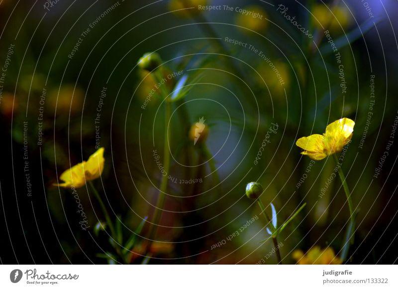 Wiese Natur Blume Pflanze Sommer Farbe Blüte Umwelt Wildtier Gift Heilpflanzen Hahnenfuß Unkraut Sumpf-Dotterblumen