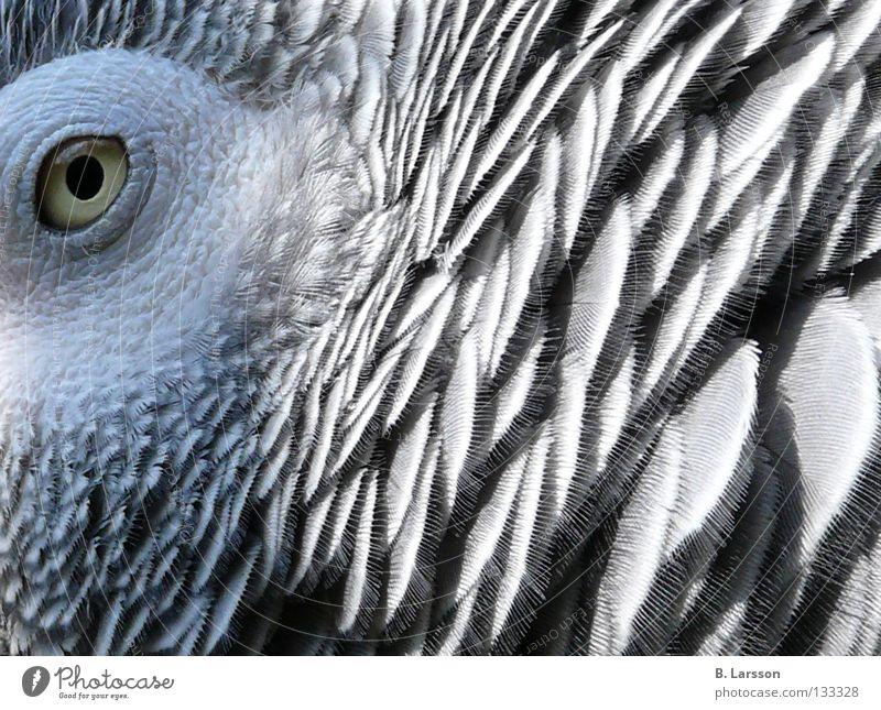grey eye Auge Tier Vogel Zoo Papageienvogel
