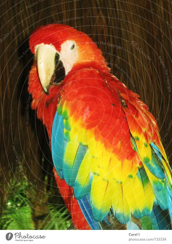 Farbenfroh Papageienvogel Ferien & Urlaub & Reisen Stroh mehrfarbig Arakanga Sittich Vogel gelb grün rot Schnabel Park Frieden Tier Strohhütte trist schön