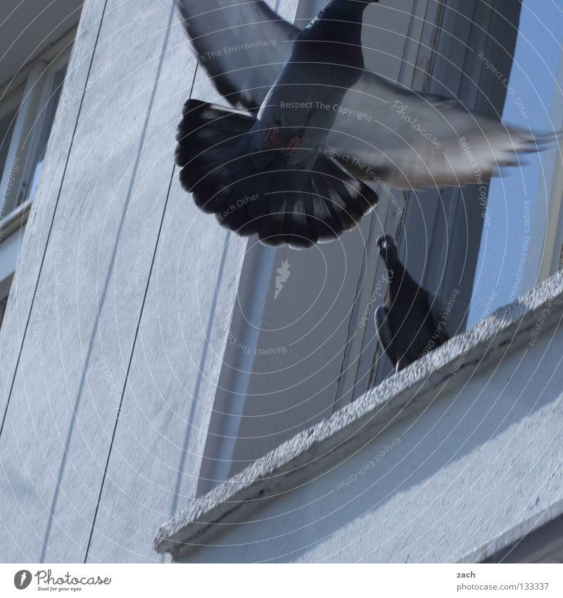 Balzen für den Frieden weiß Tier Fenster grau Mauer Vogel fliegen Fassade dreckig Luftverkehr Feder Taube Schnabel flattern Federvieh