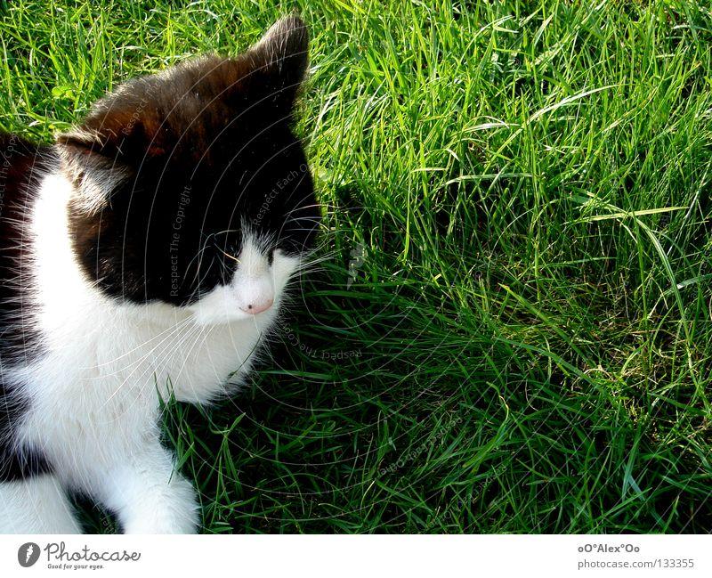 Verträumt Erholung Tier Gras Wiese Katze träumen grün Langeweile Frieden verträumt verschlafen Farbfoto