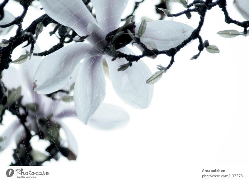 Blumenregen schön Leben Sommer Natur Pflanze Frühling Blüte Blühend nah weiß mehrere Magnoliengewächse Lilien Blütenblatt Vor hellem Hintergrund Zweig